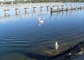 possum-pelican