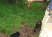 tassie-devil-feeding-time